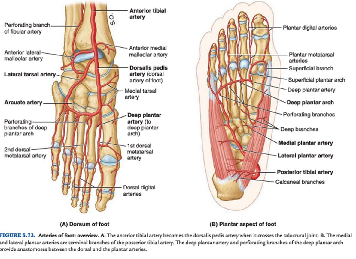 Podiatric Associates Foot Ankle Center Illustrations In Pembroke Pines